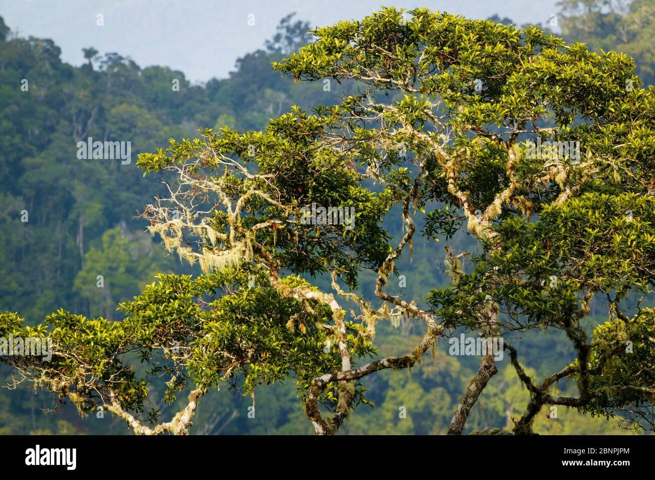 De magnifiques arbres de forêt tropicale à Cerro Pirre, parc national de Darien, province de Darien, République du Panama. Banque D'Images