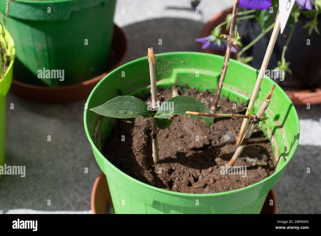 Brindilles de résineux dans une casserole, utilisées comme boutures de tiges pour propager les plantes. Philadelphus ou faux boutures de tige orange dans un vase vert avec sol. Banque D'Images