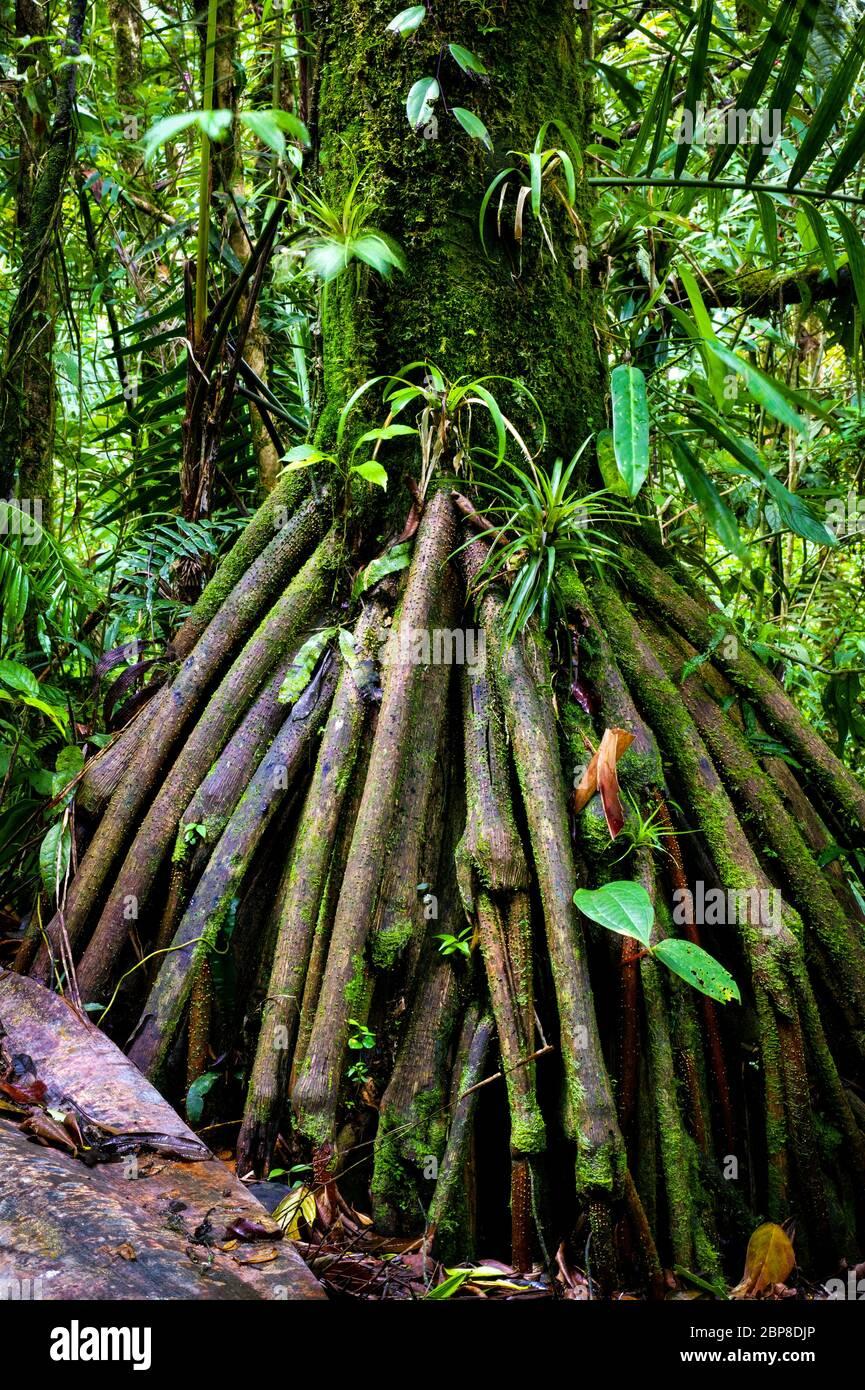 Arbre de randonnée dans la forêt tropicale luxuriante de Cerro Pirre dans le parc national de Darien, province de Darien, République du Panama Banque D'Images