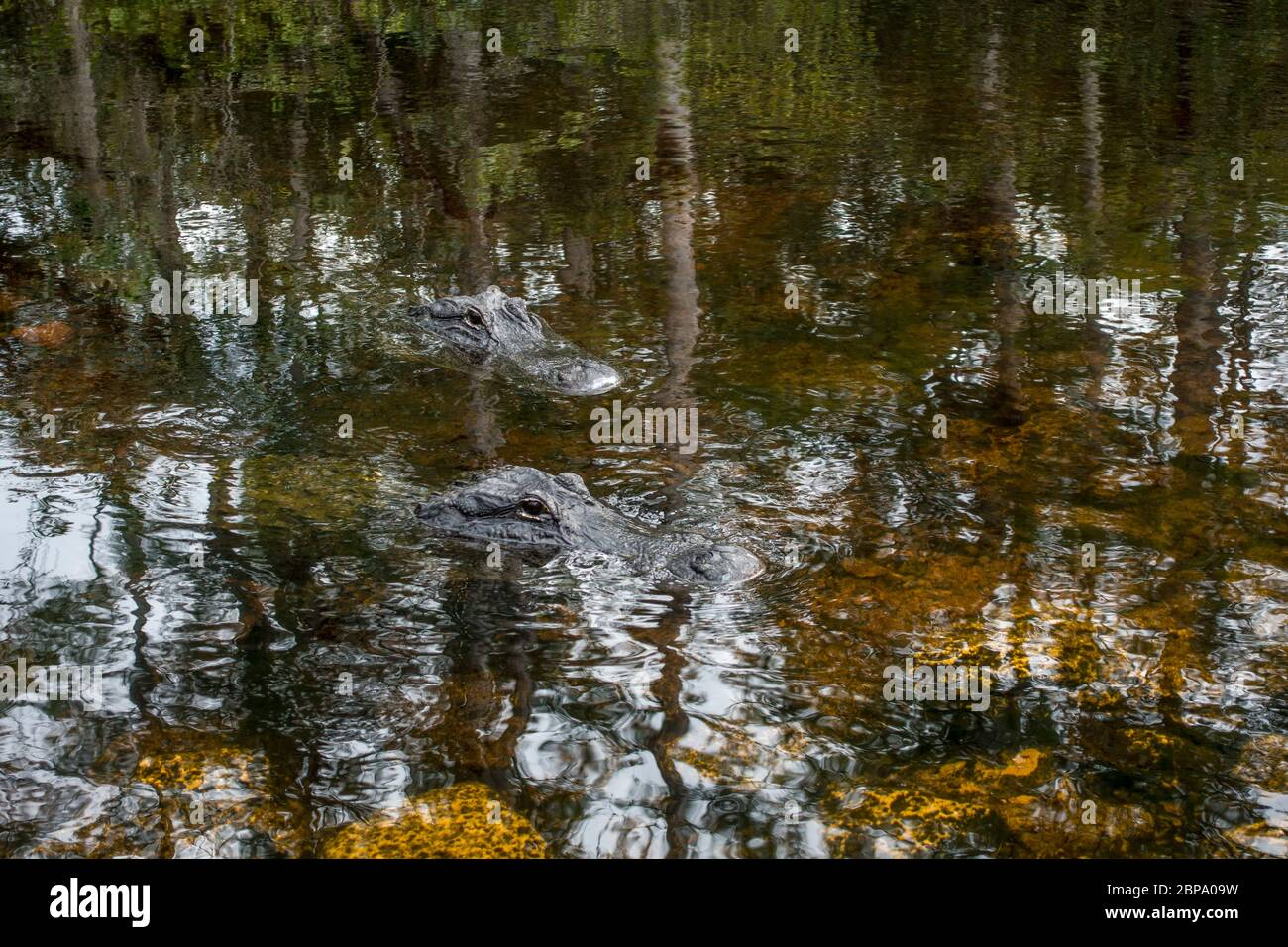 L'alligator américain flotte dans une eau calme, au fond du marais de la forêt cyprès, dans la réserve Big Cypress, Everglades, Floride. Banque D'Images