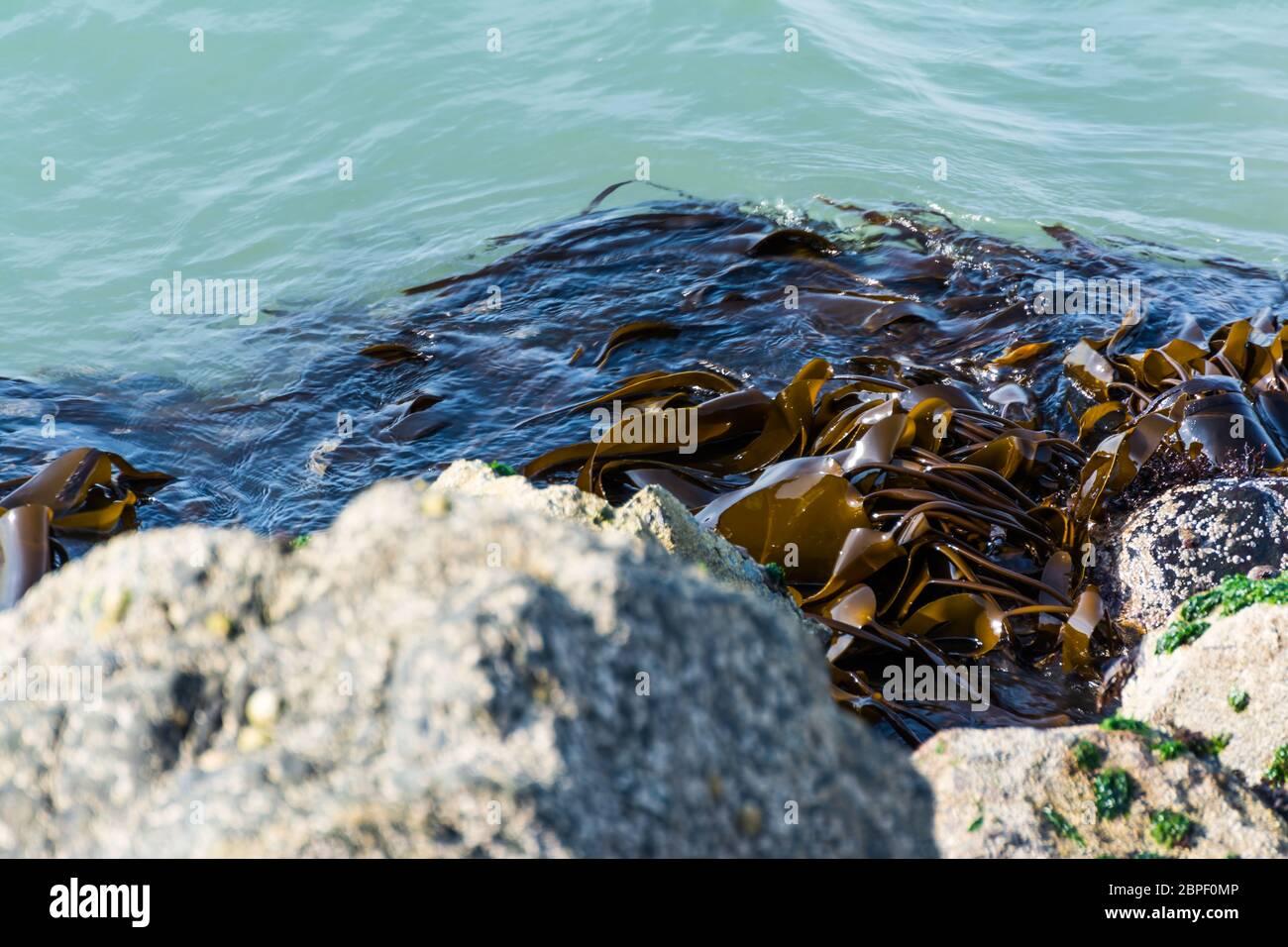 La texture des algues Close Up Shot Rocks Shore Beach Banque D'Images