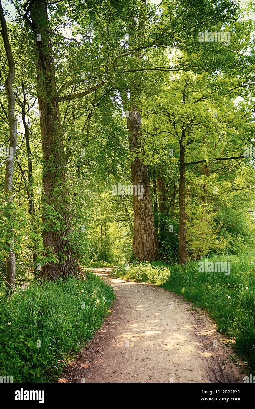 Bavière, Allemagne - sentier au milieu des bois au parc national d'Isaraüen, le point vert des arbres denses le long de la rivière Isar près de Munich, endroit idéal pour marcher, h Banque D'Images
