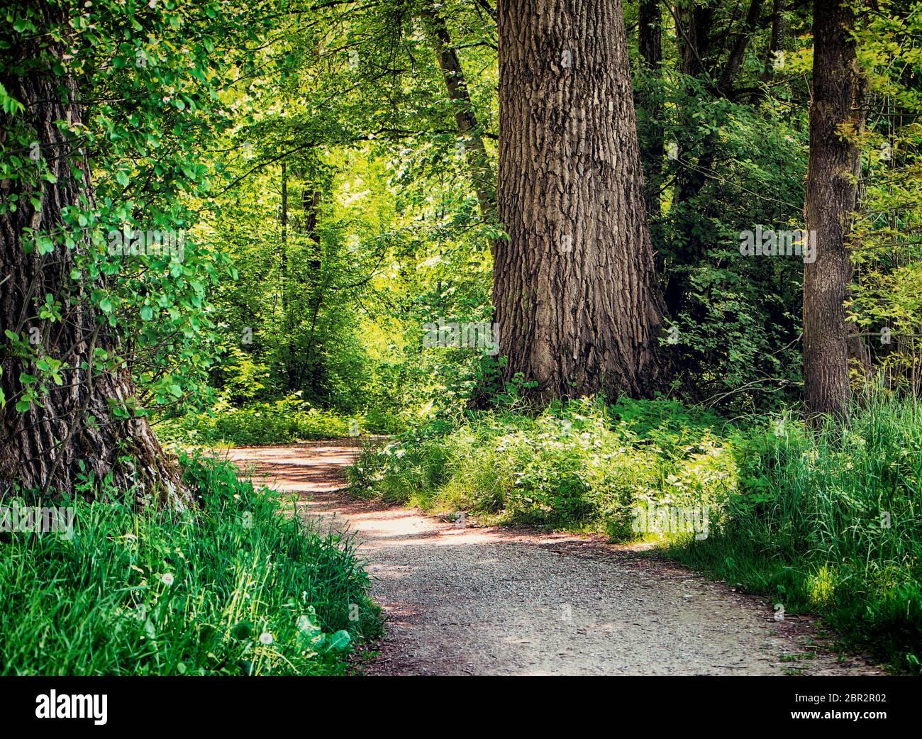 Bavière, Allemagne - sentier au milieu des bois au parc national d'Isaraüen, le point vert des arbres denses le long de la rivière Isar près de Munich, l'endroit idéal pour marcher un Banque D'Images