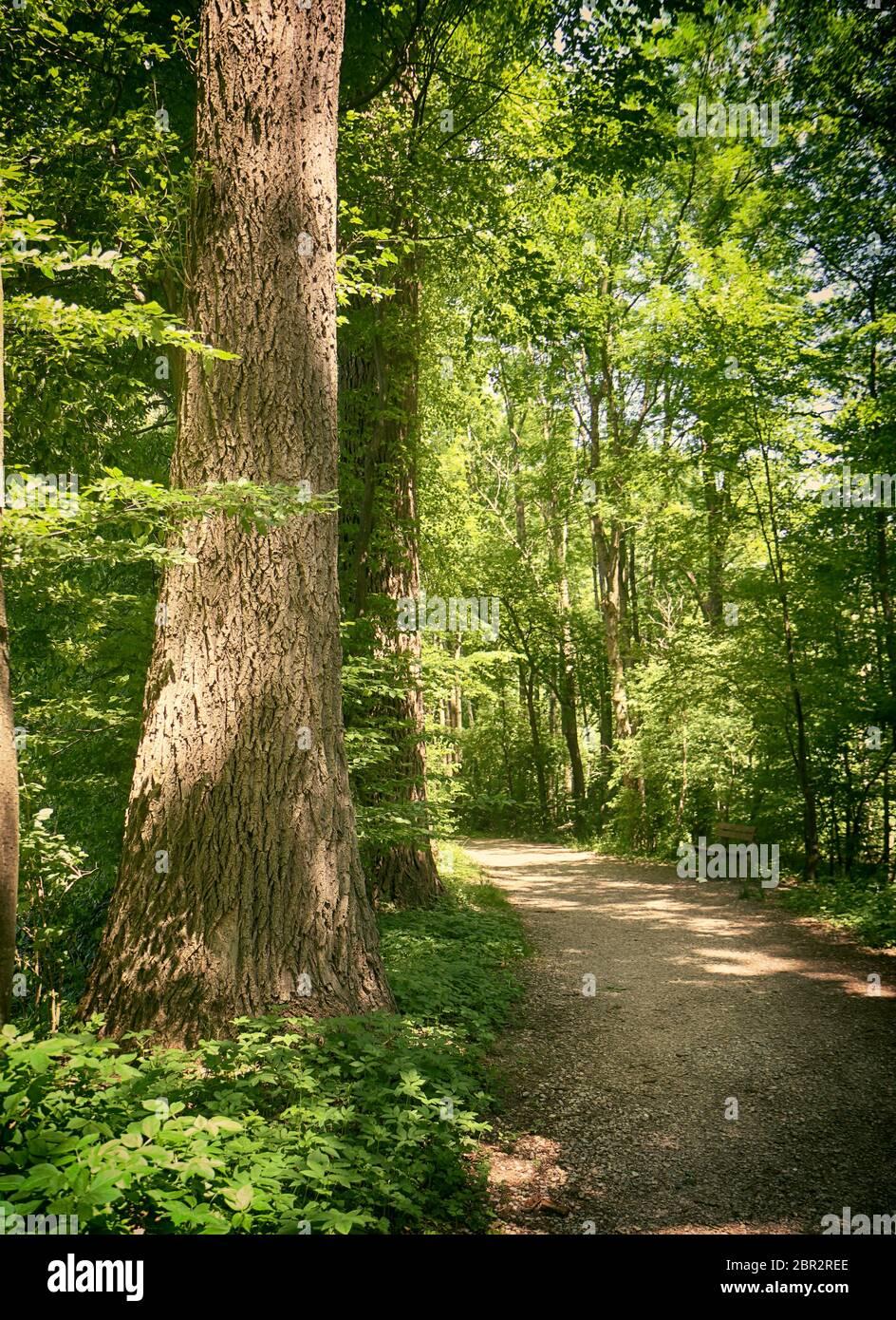 Bavière, Allemagne - chemin parmi les bois au parc national d'Isaraüen, la tache verte dense des arbres le long de la rivière Isar près de Munich, endroit idéal pour marcher, salut Banque D'Images