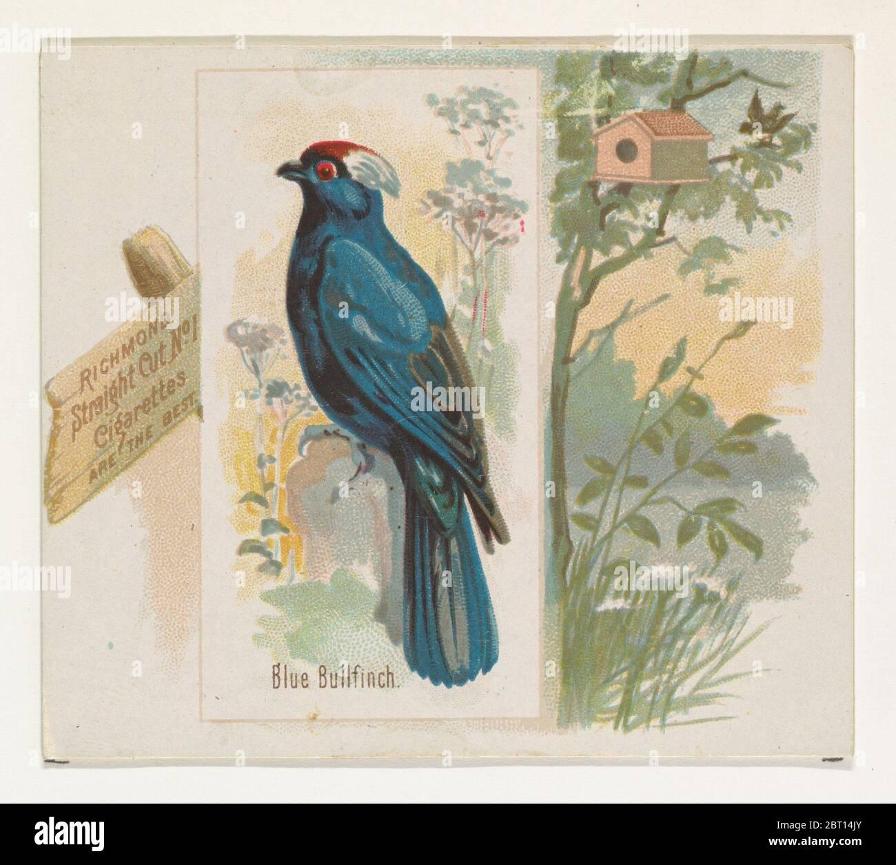 Blue Bullfinch, de la série Song Birds of the World (N42) pour Allen & amp ; Ginter cigarettes, 1890. Banque D'Images