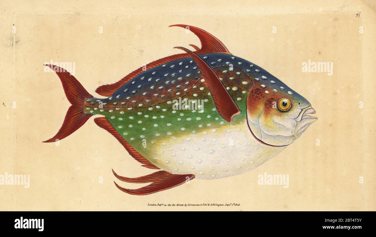 Des dieux ou le roi poisson, Lampris guttatus (Zeus Luna). Dessiné et gravé sur cuivre coloriée par Edward Donovan de son histoire naturelle de British Fishes, Donovan et C.F. et J. Rivington, Londres, 1802-1808. Banque D'Images
