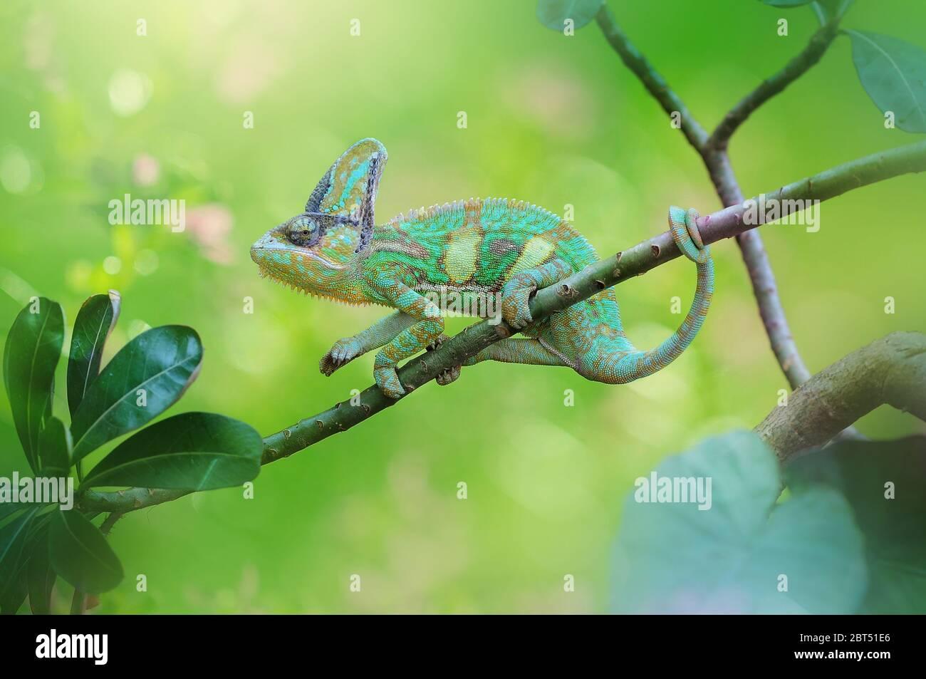 Caméléon sur une branche, l'Indonésie Banque D'Images