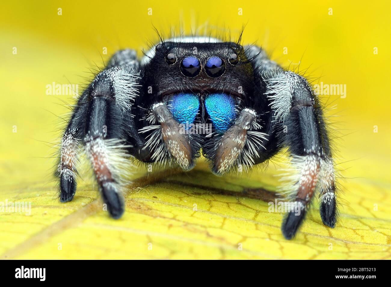 Close-up d'une araignée sauteuse sur une feuille, l'Indonésie Banque D'Images