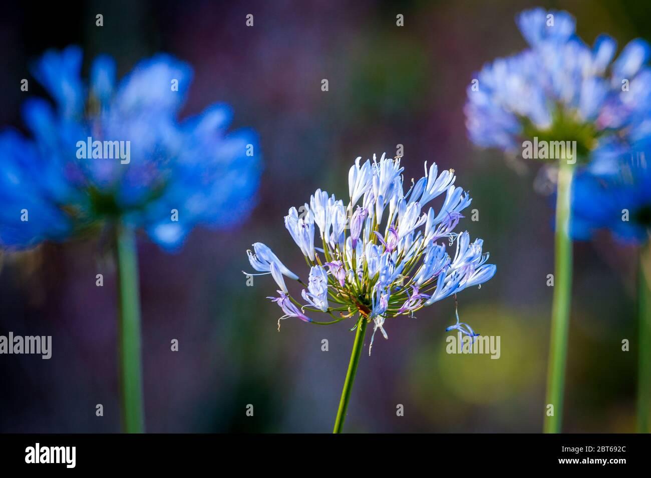 Belles fleurs bleues dans la forêt tropicale luxuriante du parc national de la Amistad, province de Chiriqui, République du Panama. Banque D'Images