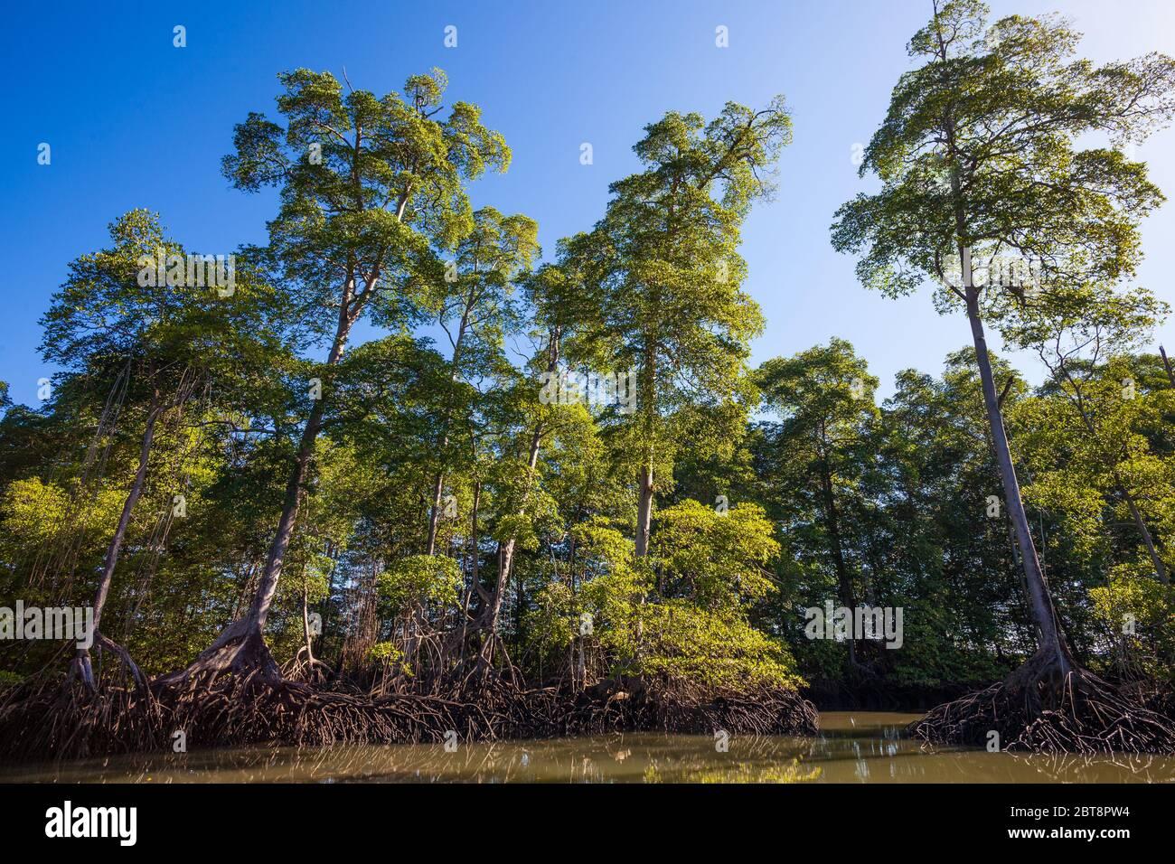 Belle mangrove dans le Golfo de Montijo, côte Pacifique, province de Veraguas, République du Panama. Banque D'Images