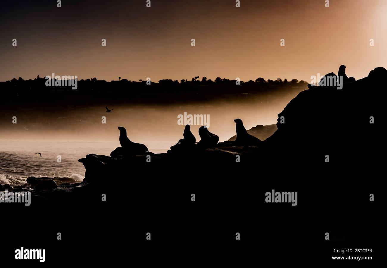 Silhouette des otaries à l'aube sur la côte rocheuse de la Jolla, Californie Banque D'Images