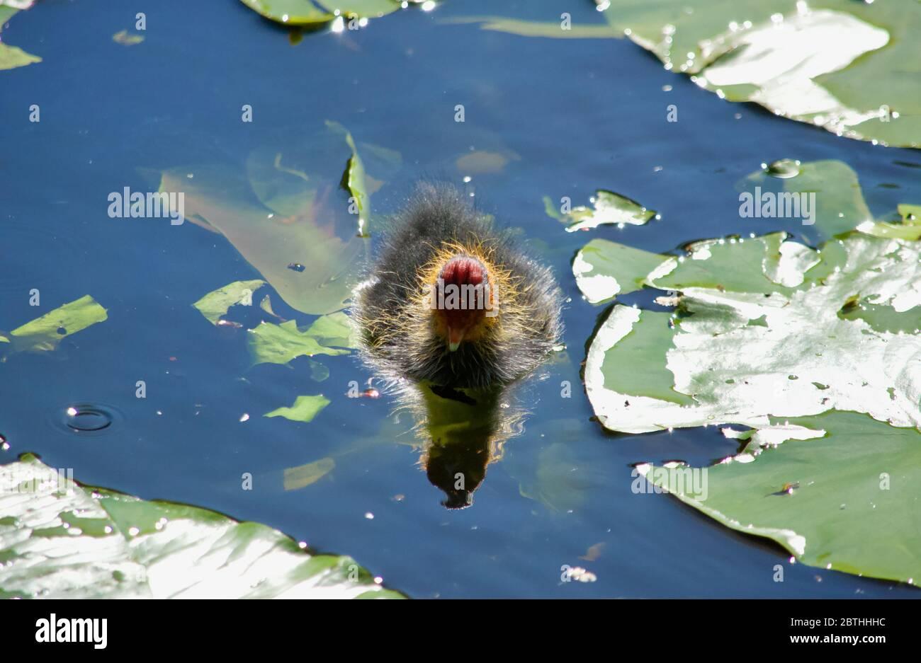 Les poussins de Coot étant nourris par leurs parents à Queensmere Pond à Wimbledon Common, Londres, Royaume-Uni Banque D'Images