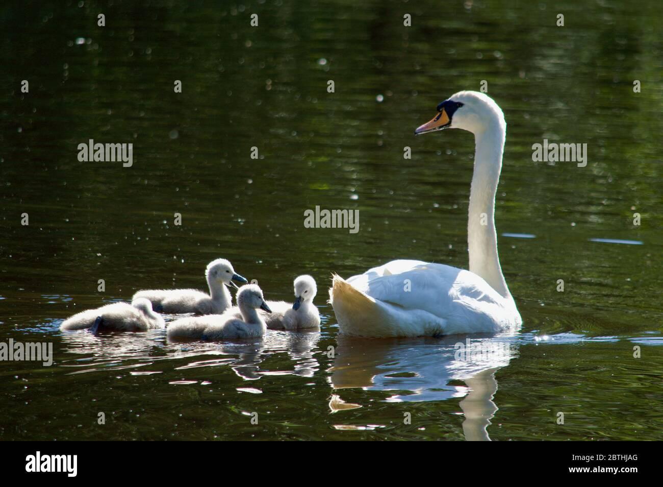 Les cygnets étant nourris par leurs parents à Queensmere Pond à Wimbledon Common, Londres, Royaume-Uni Banque D'Images