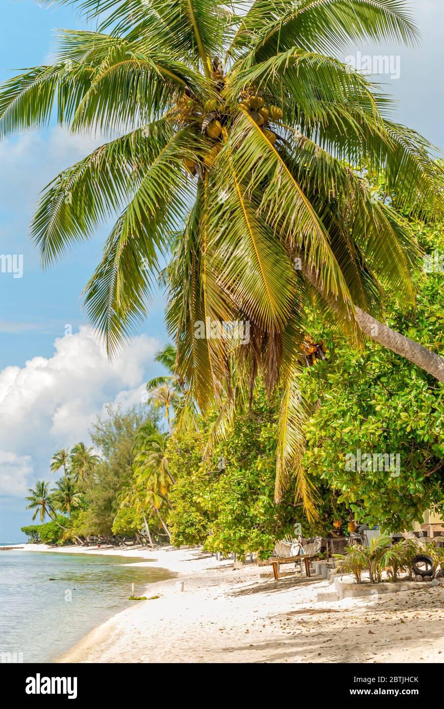 Plage de palmiers sur l'île de Bora Bora, Polynésie française Banque D'Images