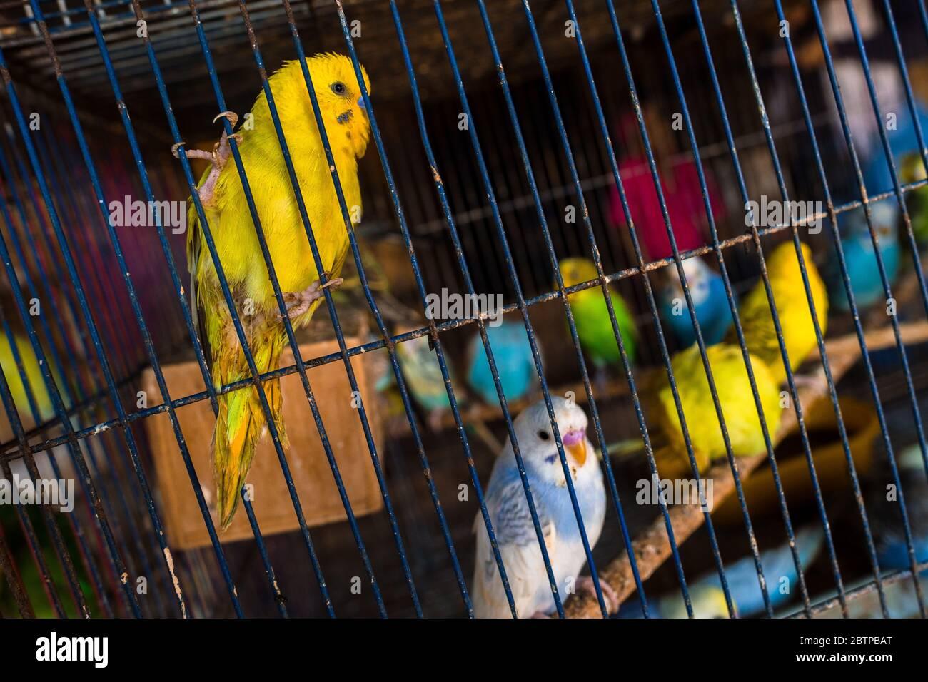 Des oiseaux de compagnie (perroquets de bourgegerigar) sont vus à l'intérieur d'une cage à oiseaux dans le marché des oiseaux à Barranquilla, Colombie. Banque D'Images