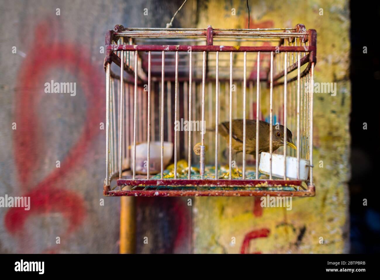 Un oiseau animal (canari sauvage) est vu à l'intérieur d'une cage à oiseaux accrochée au marché des oiseaux à Cartagena, Colombie. Banque D'Images