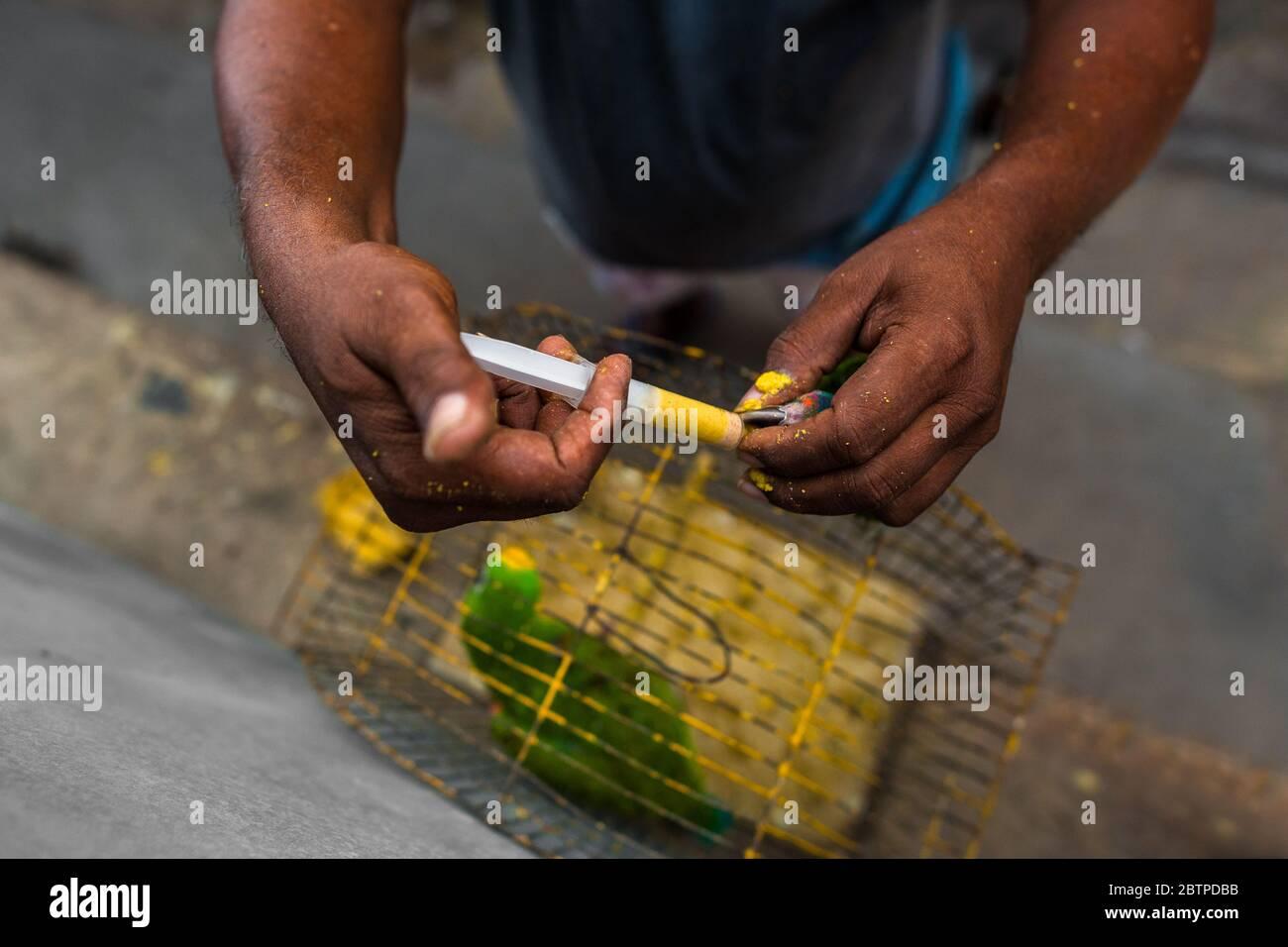 Un vendeur d'oiseaux colombien alimente un perroquet amazonien, injectant de la nourriture liquide dans son bec, sur le marché des oiseaux de Carthagène, en Colombie. Banque D'Images