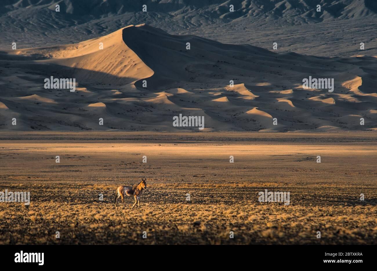 Onager (Equus hemionus) court dans le désert de Gobi, en arrière-plan dune de sable Kongor, province d'Umnugobi, Mongolie Banque D'Images