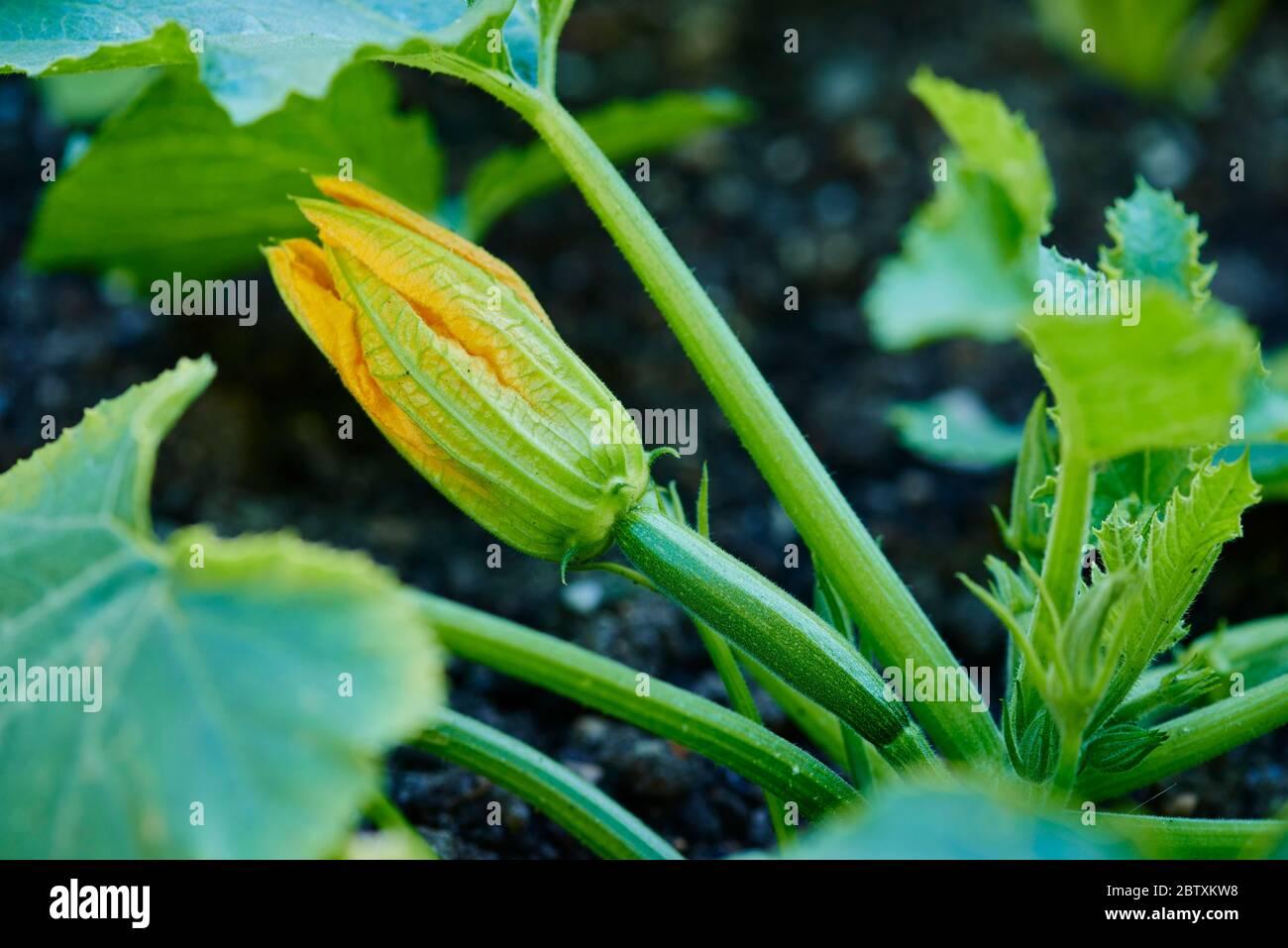 Courgette ou courgette fleurissent dans un jardin, Haut-Palatinat, Bavière, Allemagne, Europe Banque D'Images