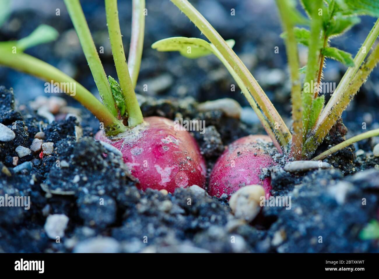 Radis rouge (Raphanus sativus var. Sativus) dans un jardin, Haut-Palatinat, Bavière, Allemagne, Europe Banque D'Images
