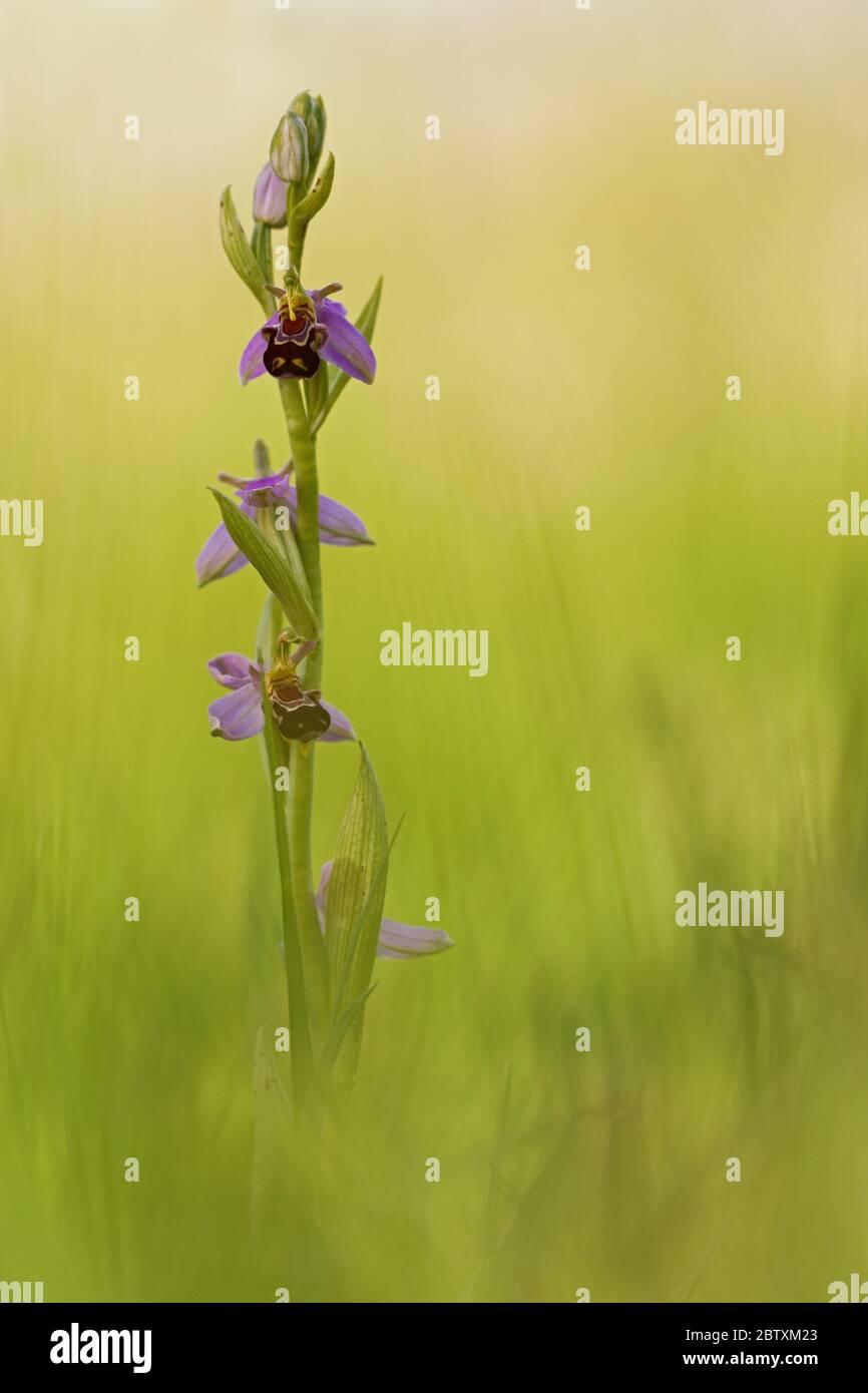 Orchidée d'abeille (Ophrys apifera), Bavière, Allemagne Banque D'Images