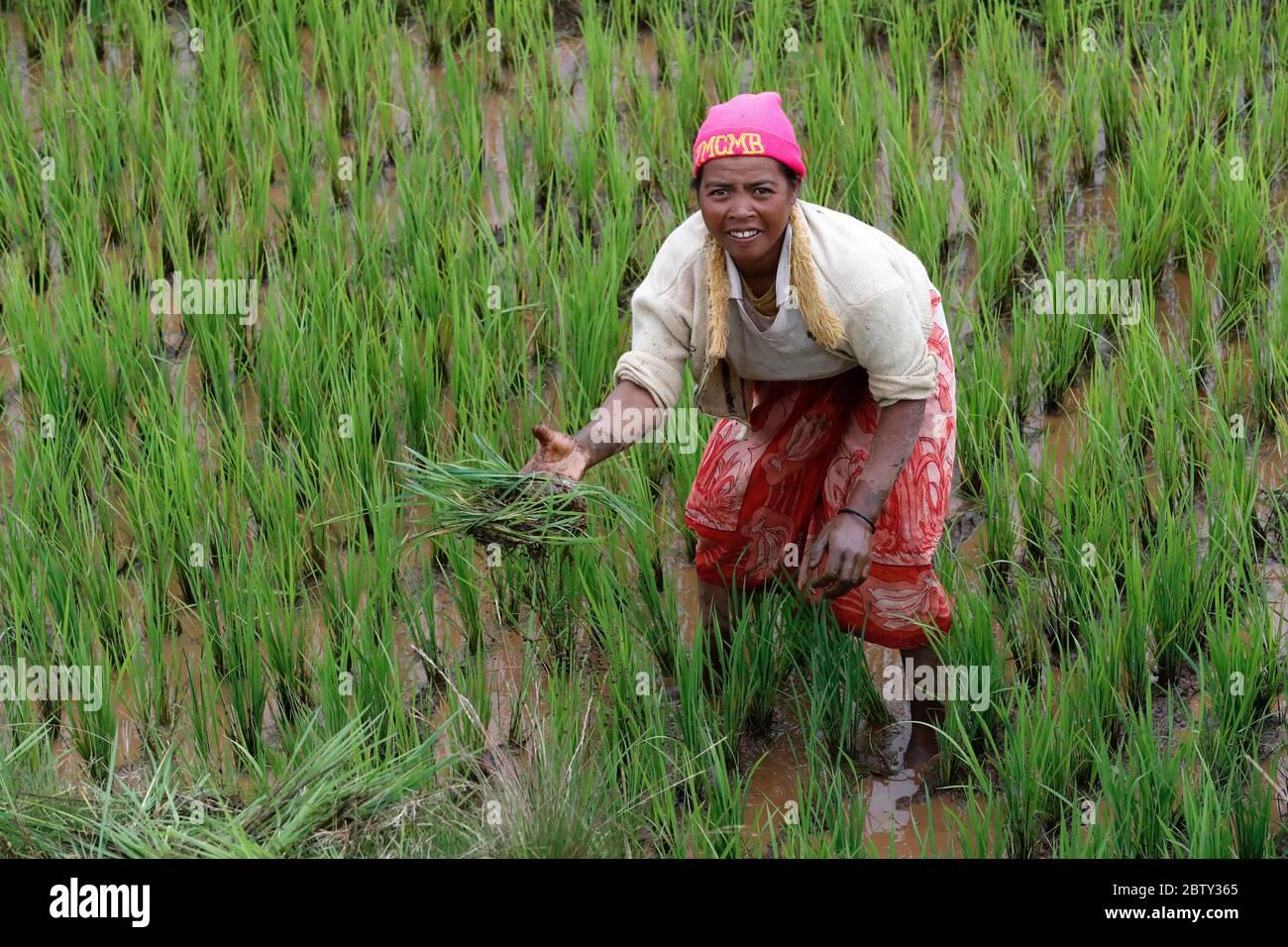 Agriculteur travaillant dans le rizière, Madagascar, Afrique Banque D'Images