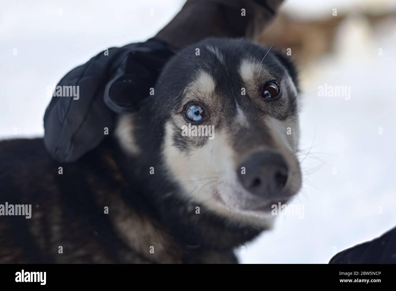Ce husky noir est en train d'être pillé et ses yeux bleu et marron étonnamment beaux regardent la caméra Banque D'Images
