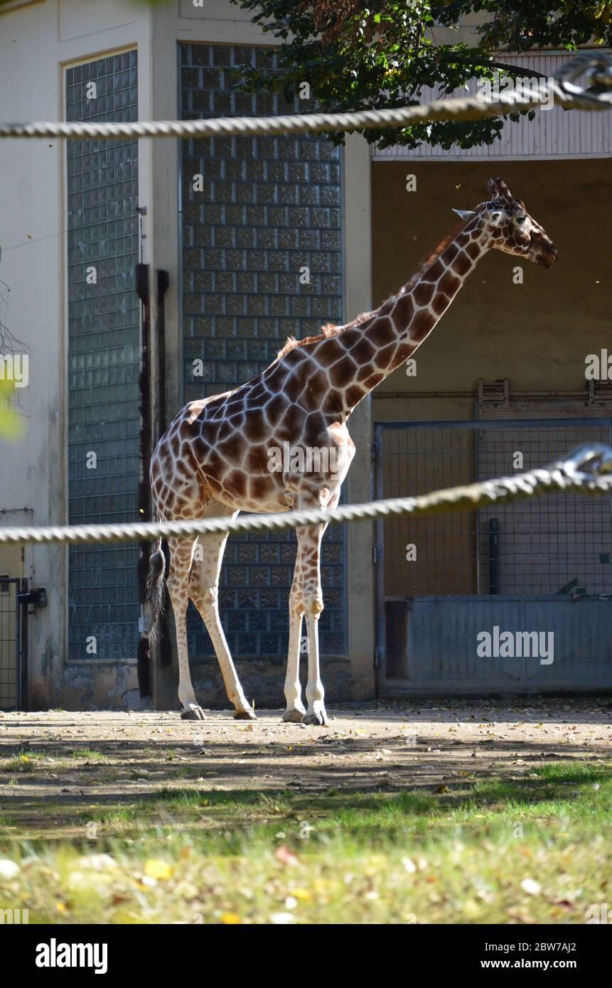 Girafes somaliens réticulés dans le zoo de Francfort Banque D'Images