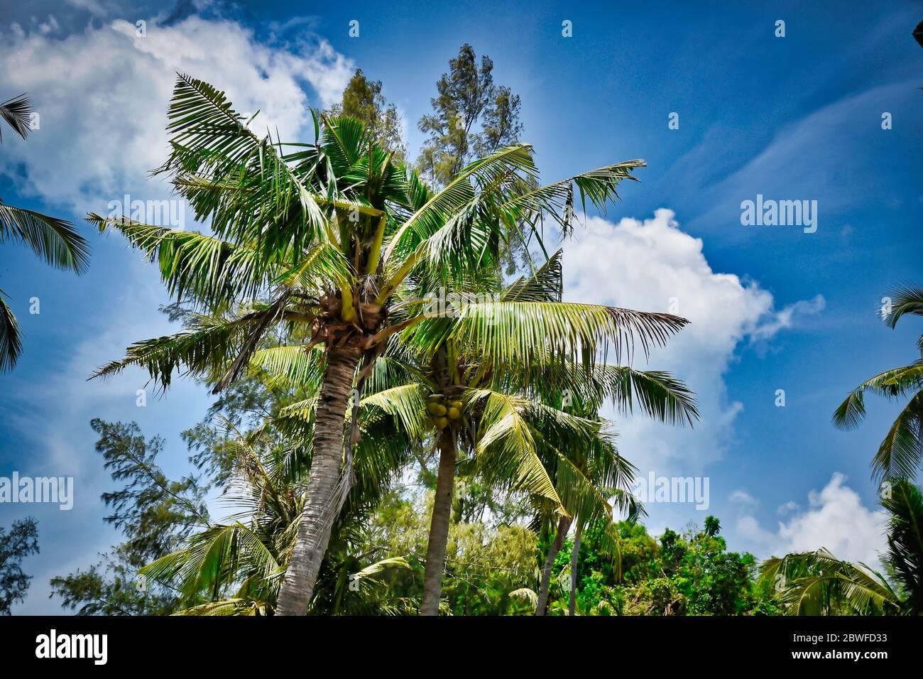 Magnifique arbre géant de noix de coco avec noix de coco sous le beau ciel bleu vif Banque D'Images