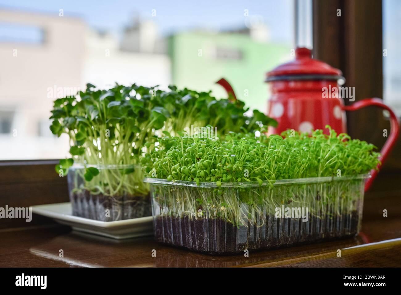 Microgreen de cresson de jardin et radis daikon, jeunes plantes, dans un contenant en plastique sur la fermeture de seuil de fenêtre Banque D'Images