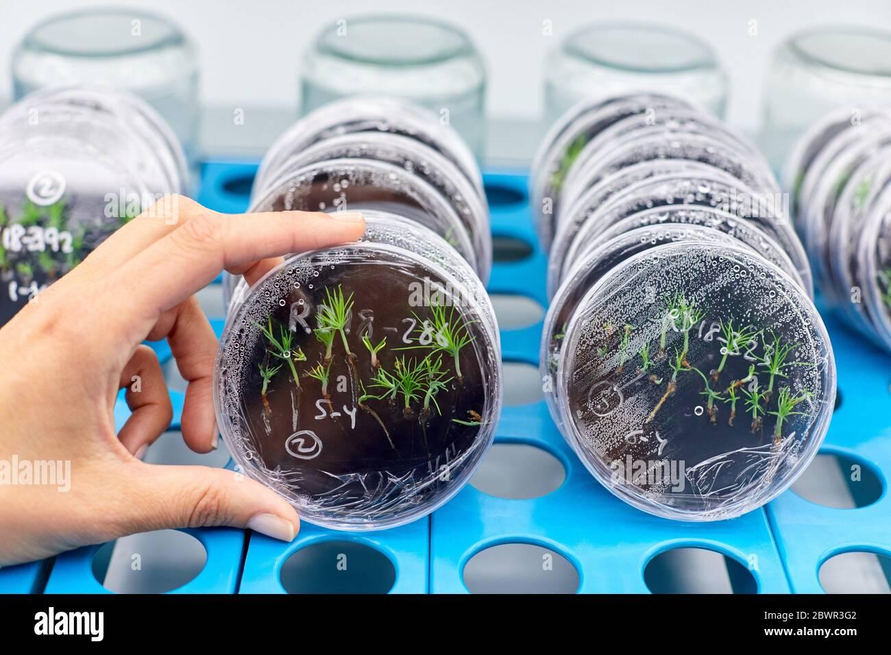 Chambre de culture in vitro, recherche forestière et environnementale, Araba, pays basque, Espagne Banque D'Images