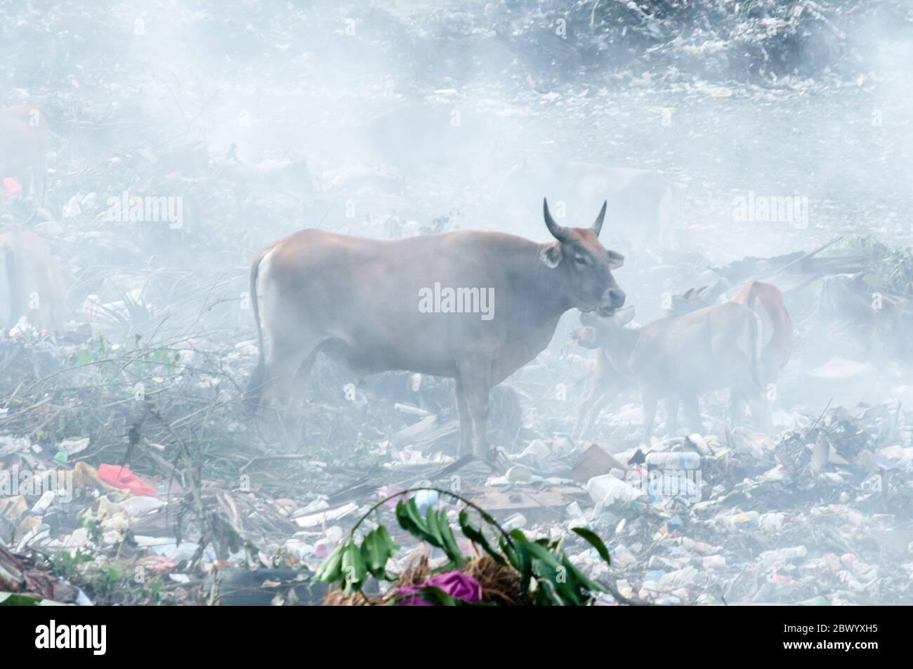 Les vaches étaient en dernière disposition à Dili Timor Leste Banque D'Images