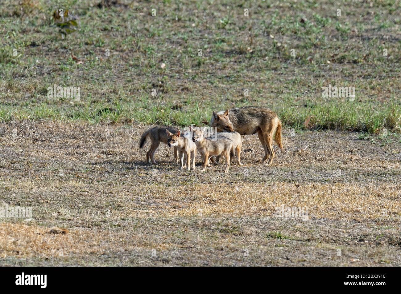 Femelle de la cachaal indienne (Canis aureus) se nourrissant et jouant avec ses petits, la réserve de tigre de Kanha ou le parc national de Kanha-Kisli, État de Madhya Pradesh, Inde Banque D'Images