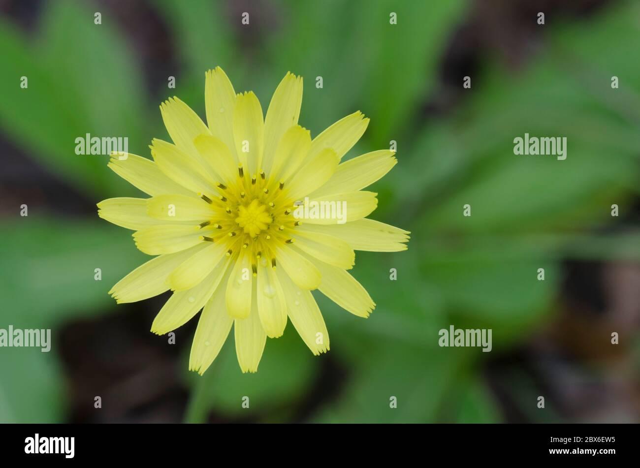 Dandelion faux, Pyrrhopappus sp. Banque D'Images