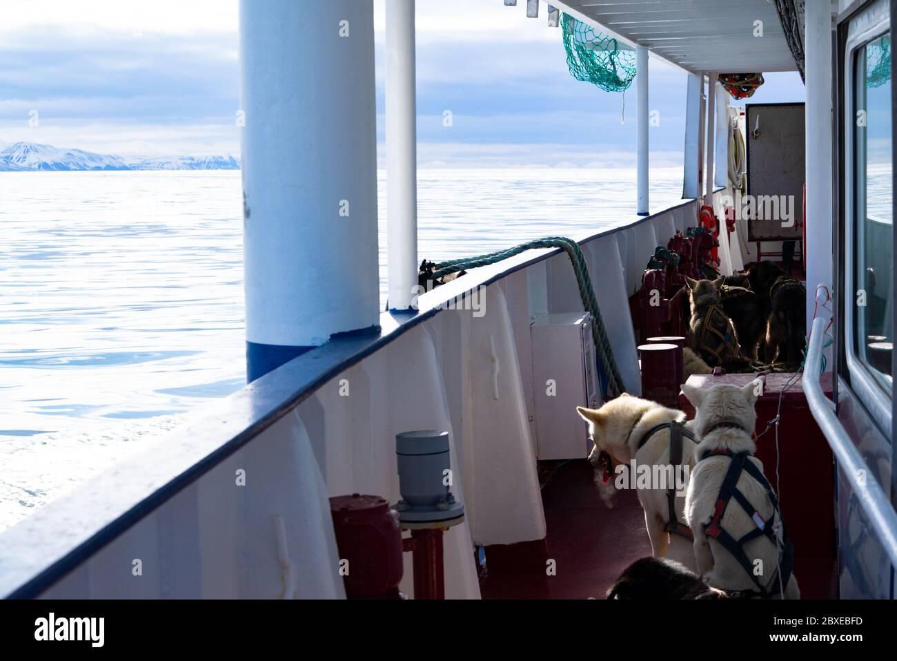 Norvège, Spitsbergen, 10 mars 2018 : chiens Husky voyageant sur un navire dans l'Arctique sur le Spitsbergen. Banque D'Images