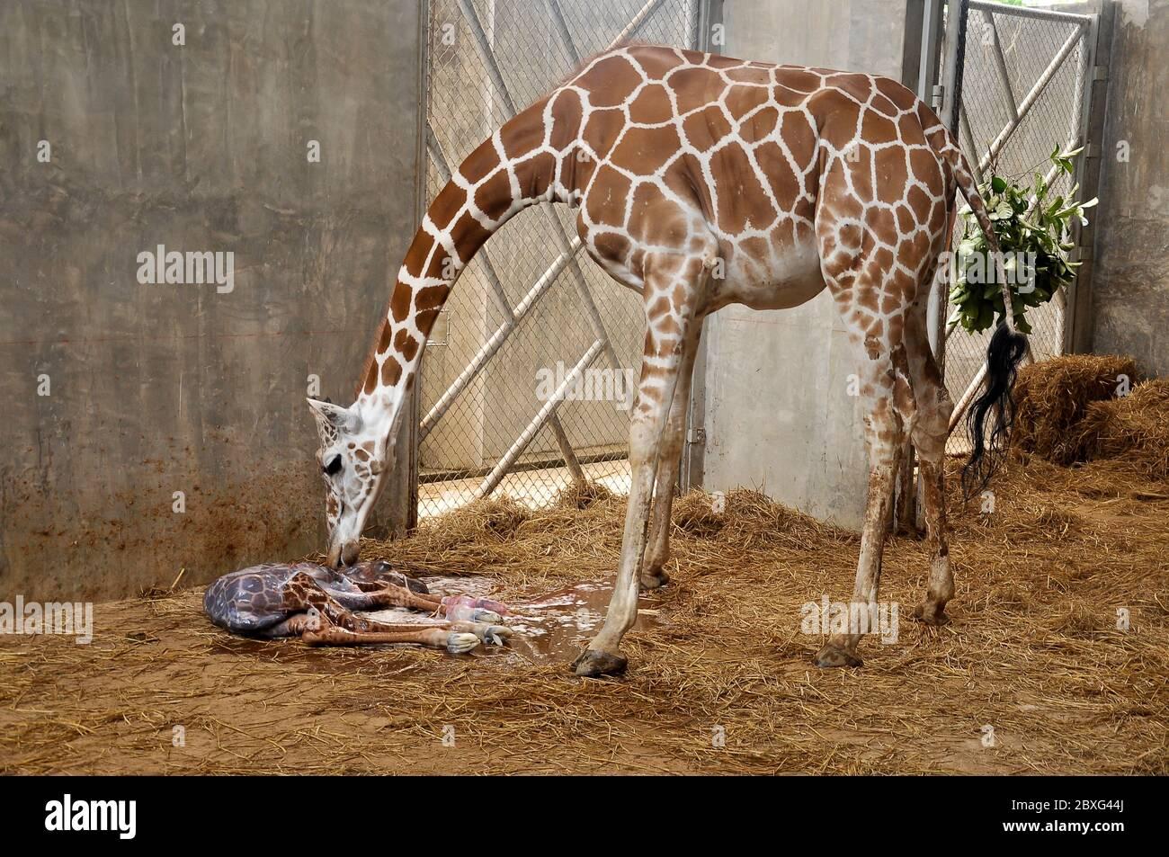 Les girafes maternelles appellent leur jeune enfant après la naissance. Banque D'Images