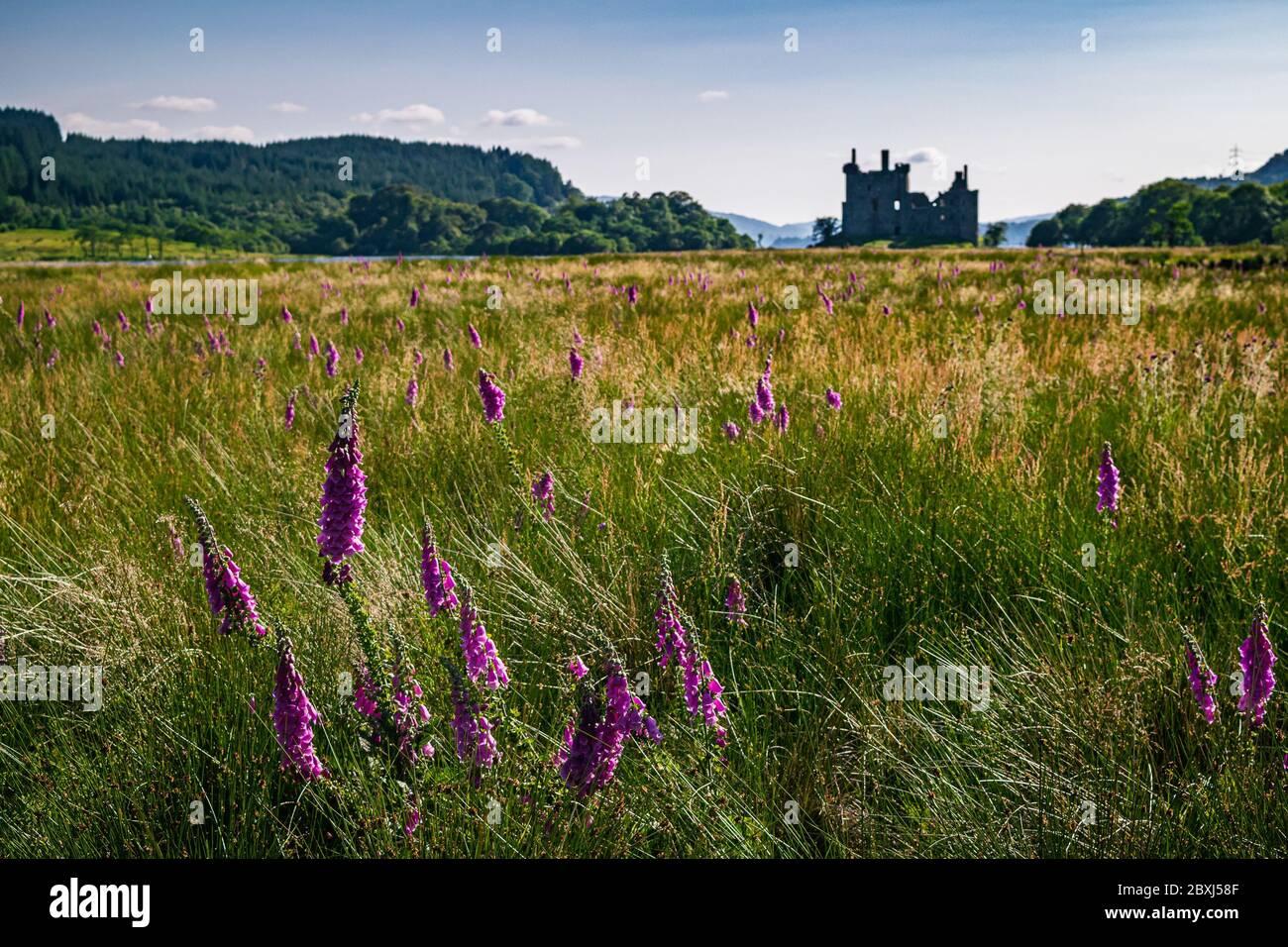 Paysage rural écossais d'été avec un champ plein de fleurs sauvages pourpres et silhouette du château de Kilchurn en arrière-plan. Banque D'Images