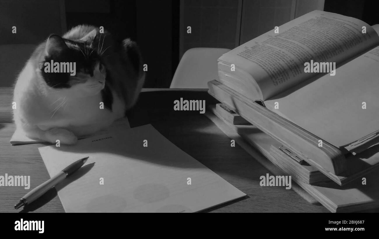Un chat de shorthair européen assis sur un bureau et regardant un livre. Noir et blanc Banque D'Images