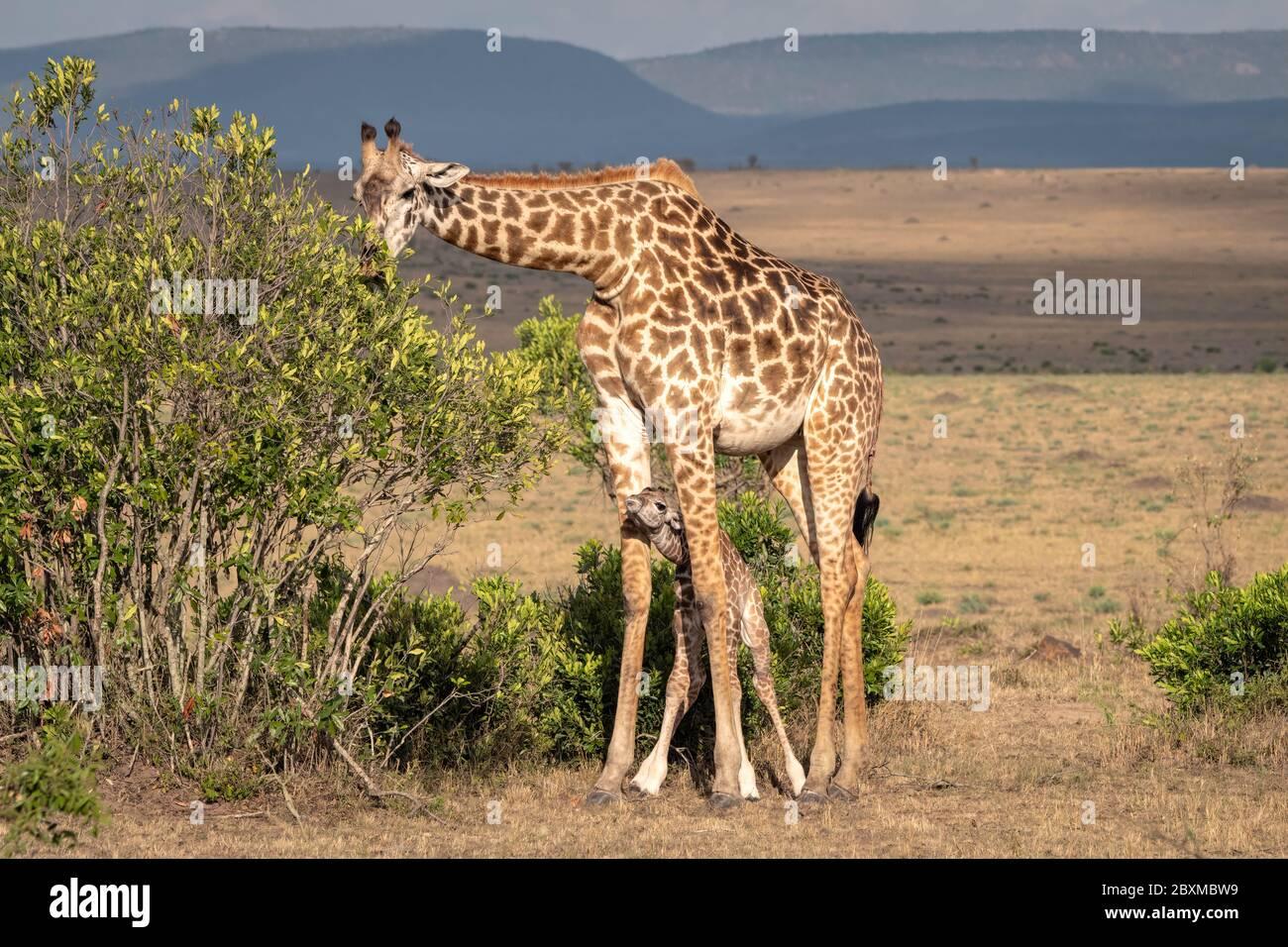 Une girafe de nouveau-né se tient entre les jambes de sa mère pour la protection alors qu'elle se nourrit sur les feuilles d'un Bush. Photo prise à Masai Mara, Kenya. Banque D'Images