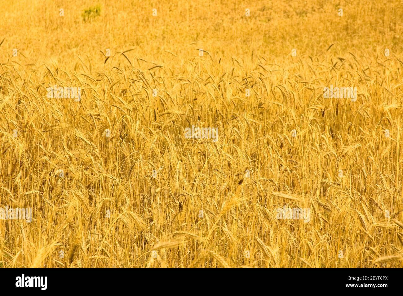 Champ de blé Banque D'Images