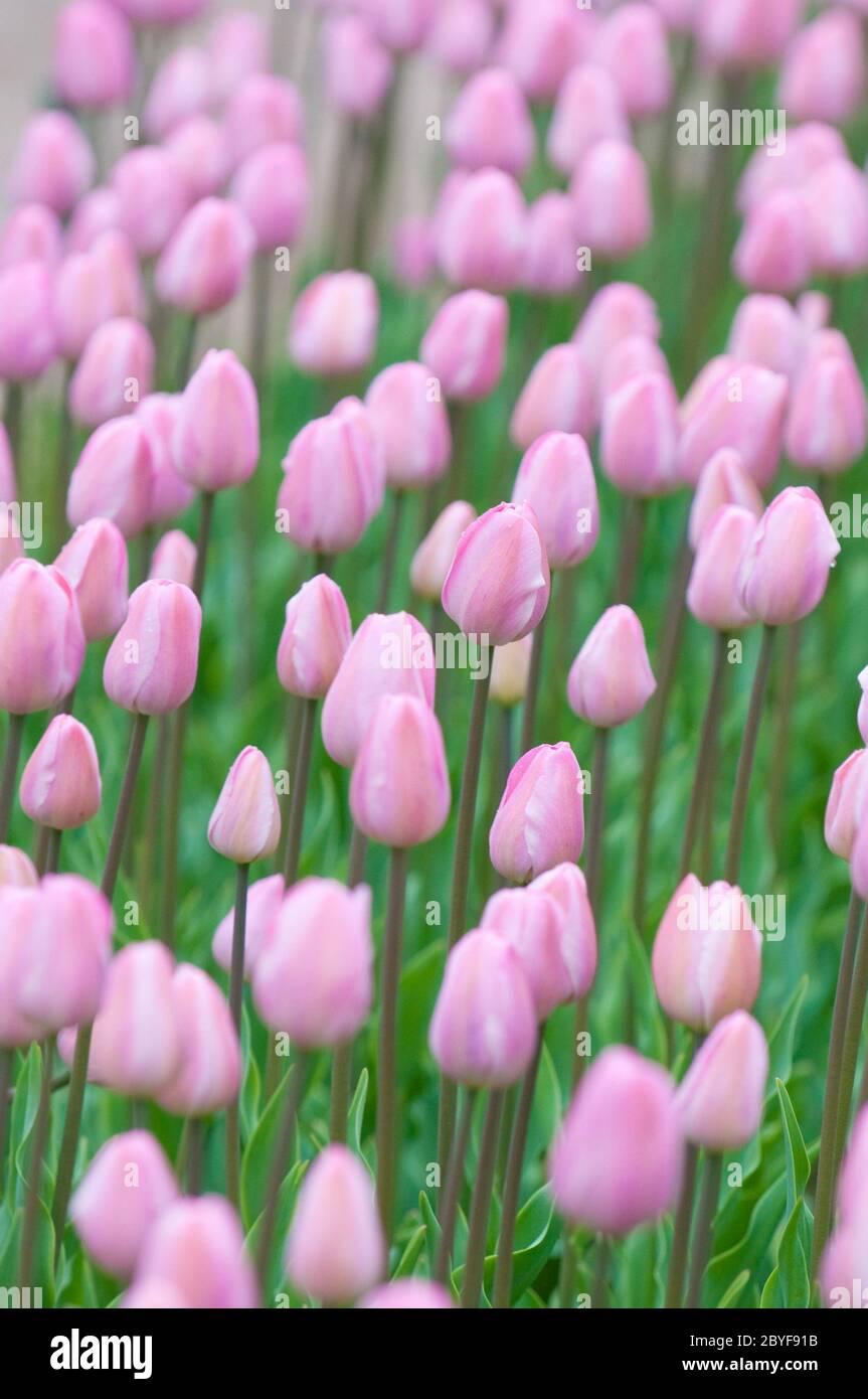 Tulipes roses, foyer très peu profond Banque D'Images