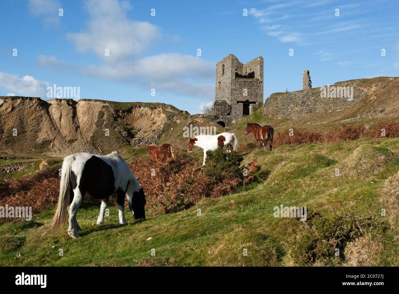 Caradon Hill et ruines d'une ancienne mine de cuivre avec poneys sauvages, Bodmin Moor, Cornwall, Angleterre, Royaume-Uni Banque D'Images