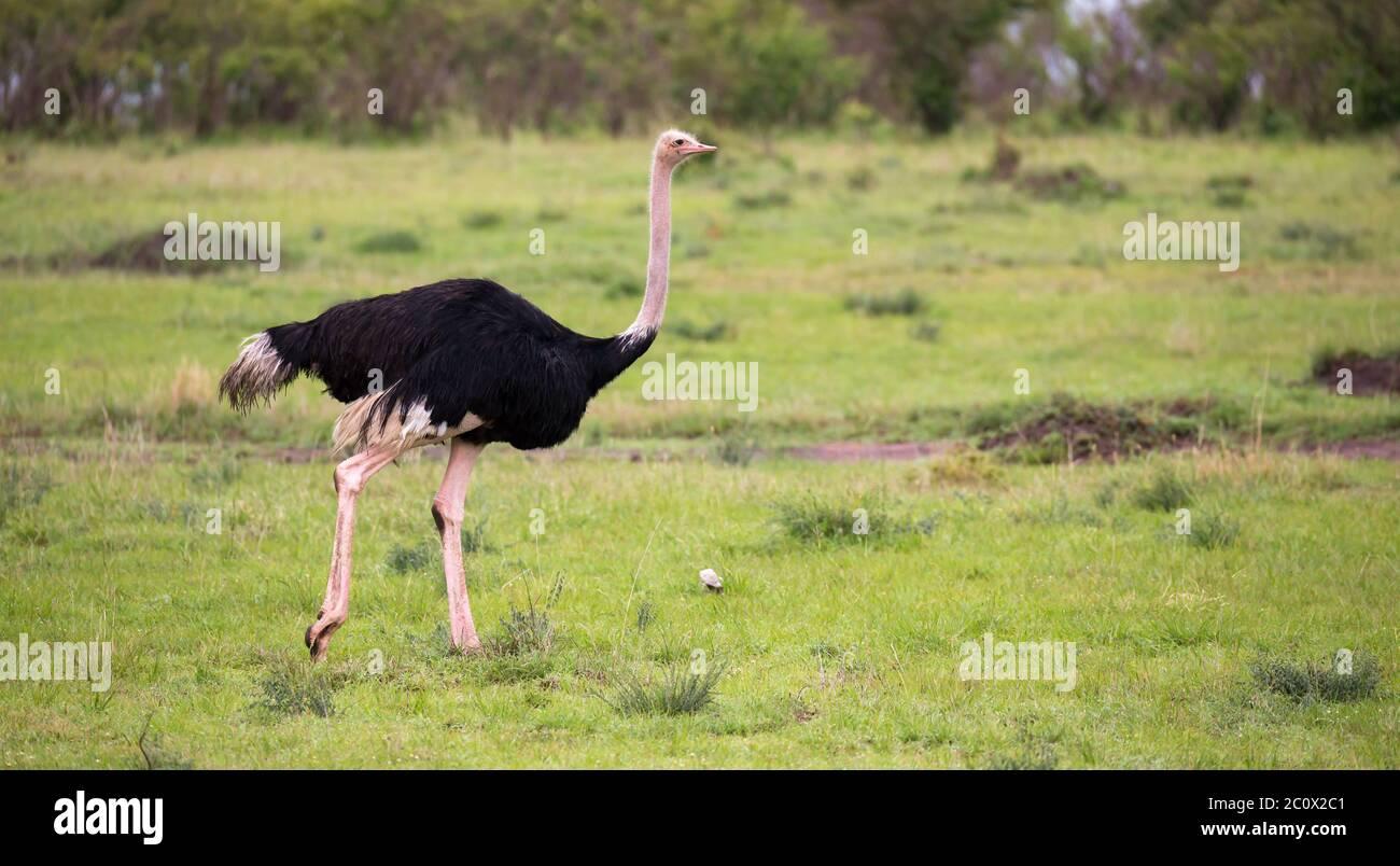 Un Oiseau D Ostrich Male Traverse Le Paysage De L Herbe De La Savane Au Kenya Photo Stock Alamy