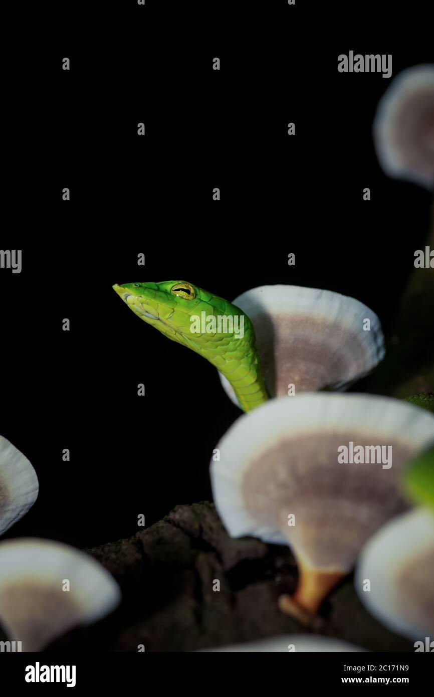 Serpent vert de vigne, Ahaetulla nasuta, Satara, Maharashtra, Inde Banque D'Images