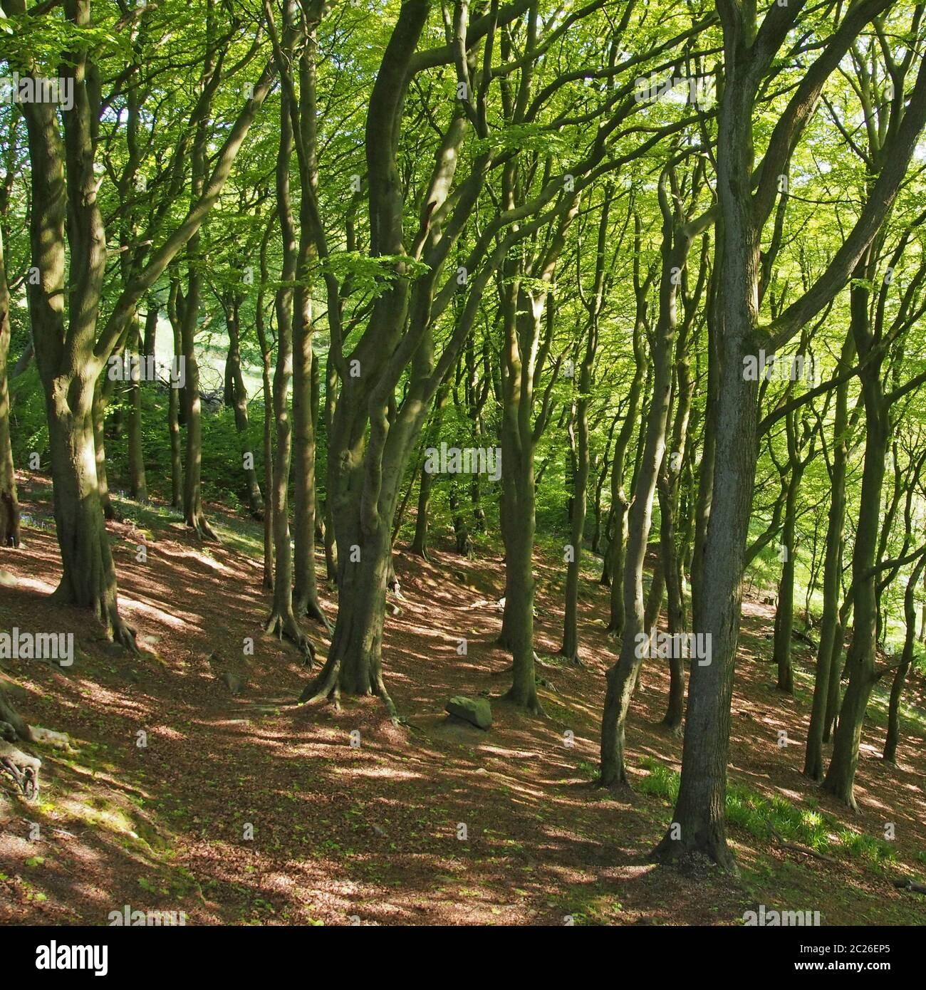 forêt à flanc de colline au printemps avec feuillage vert vif éclairé par le soleil et ombres à applades sur le sol Banque D'Images