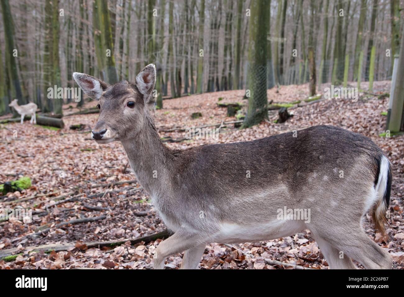 Mère et son faon cerf debout dans les bois. La faune et de l'environnement concept. Banque D'Images