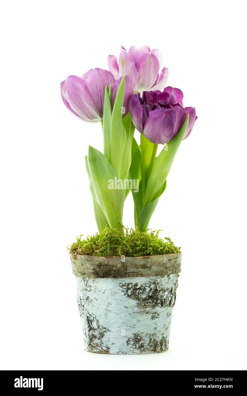Tulipes pourpres dans un pot isolé sur fond blanc. Banque D'Images