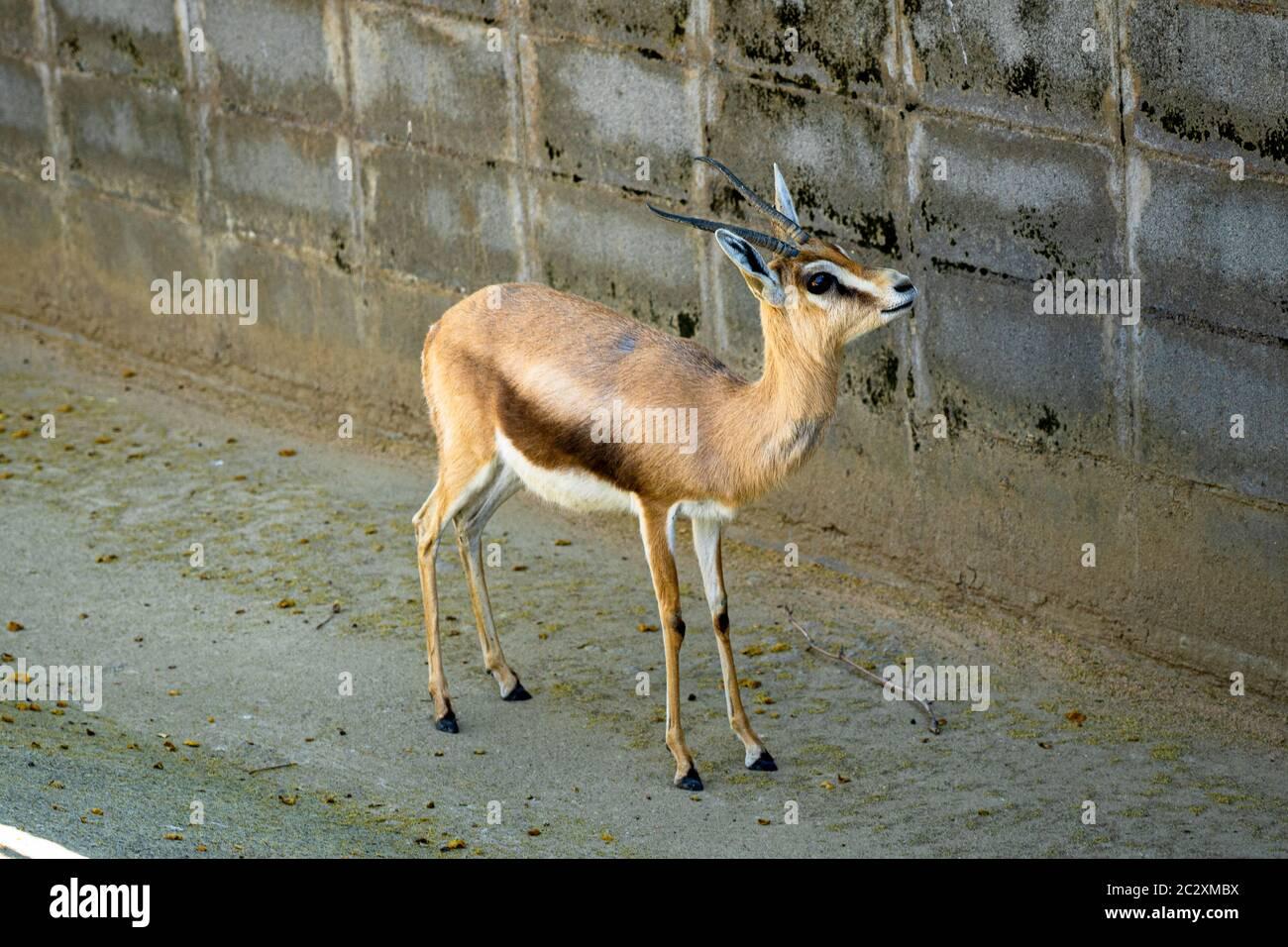 Dorcas du Saharian (Gazella dorcas osiris) au zoo de Barcelone. Banque D'Images