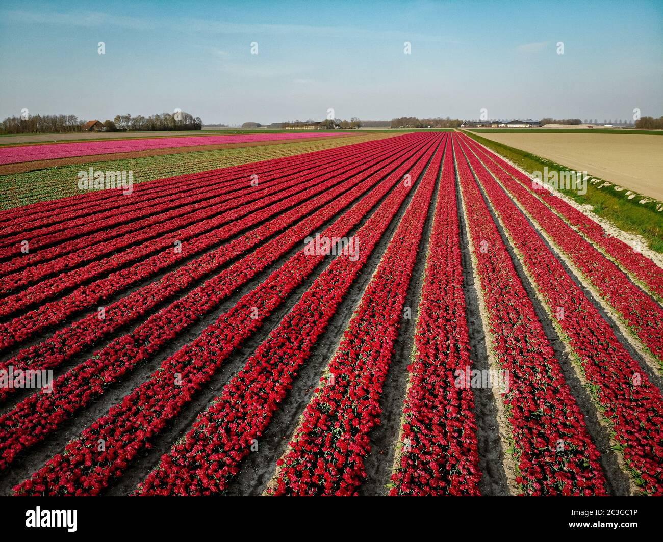 Drone vue aérienne sur les champs de tulipes à Noordoosstpolder Pays-Bas Banque D'Images