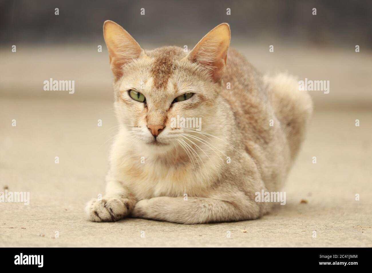 Un chat domestique blanc qui regarde ses yeux mignons. Banque D'Images